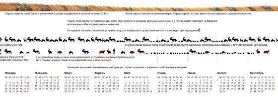 инфографика об амурском тигре